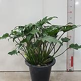 셀렘.공기정화에 탁월한 관엽식물|