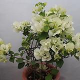부겐베리아(흰색)