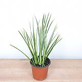 무늬석창포 / 석창포 / 공기정화식물|