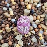 conophytum 트런카텀(위게티아)|