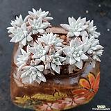 목대화이트그리니 Dudleya White gnoma(White greenii / White sprite)