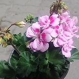 페라고늄꽃 사계절피는꽃(실내)|