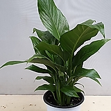 스파트필름.중.미세먼지 공기정화용 5대 식물중에 한품목이예요.|
