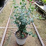 유칼립투스묵은것-살균 호흡기질환모기해충기피식물