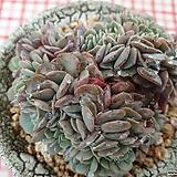 턱시판철화 Echeveria tuxpan