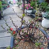 명자꽃나무 분제|