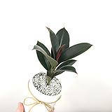 멜라니 고무나무 / 고무나무화분 / 플랜테리어 / 공기정화식물|Ficus elastica