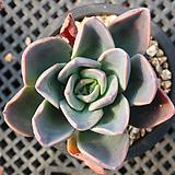 보라공주 6066|Echeveria Purple Princess