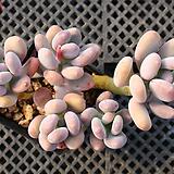 홍미인 묵은둥이 자연군생 8752|Pachyphytum ovefeum cv. momobijin