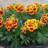 메리골드꽃 12개 렌덤|