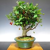 열매열린~예쁜 수형 왕보리수 분재♥작은 나무에 열매가 열려요~|