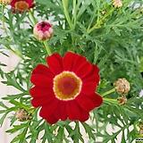 목마가렛 (빨강)|Echeveria halbingeri