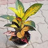 크로톤.공기정화식물|Codiaeum Variegatum Blume Var Hookerianum