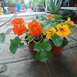 활련화 꽃 식용|
