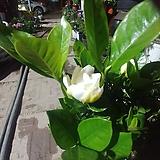 꽃치자 향이 공기정화|