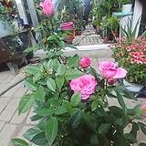 분홍장미 꽃 공기정화|
