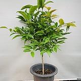 신종 월계수나무 (동일품배송)|