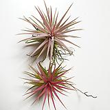 레드 이오난사 / 이오난사 / 플랜테리어 /먼지제거식물|