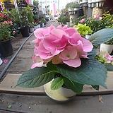 분홍수국 꽃 월동|Hydrangea macrophylla