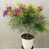 왁스플라워 (대품이며 동일품배송)|Echeveria agavoides Wax