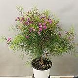 왁스플라워 (대품 동일품배송)|Echeveria agavoides Wax