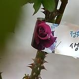 장미  덩쿨장미  흑홍색|