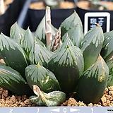삼각창 옵튜샤 금자구|Haworthia cymbiformis var. obtusa