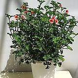 랜디 제라늄 오렌지색.화사한 꽃을 오래감상할수있는 제라늄|Geranium/Pelargonium