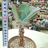 줄리아목대|Echeveria cv.Jyulia