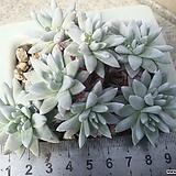 화이트그리니11두|Dudleya White gnoma(White greenii / White sprite)