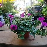 샤피니아 꽃 공기정화|