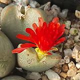 C. Marnierianum (마니어리아넘) 10립|