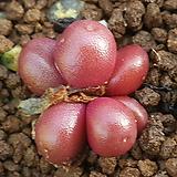 C. brunneum 부르니움|
