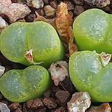 C lithopsoides (리톱소이데스 케네디)|