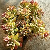 리틀뷰티.자연|Graptosedum Little Beauty