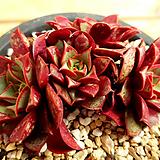 롱기시마벨바라|Echeveria longissima