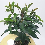공기정화식물 미니 만냥금 관엽|