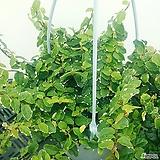 푸미라(행잉플랜트) (중품)|Echeveria pumila