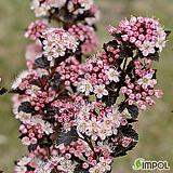 신품종 왜성 국수나무(타이니 와인)|