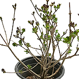 미스김라일락(중품) Echeveria cv Peale von Nurnberg