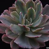 호베이(목대)2 Echeveria holwayi