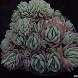 트윈베리8 Echeveria Twin Berry