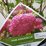 아나벨수국     수국  진핑크|Hydrangea macrophylla