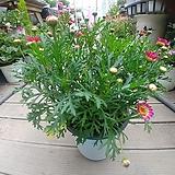 목마가렛 꽃 실네 월동 공기정화|Echeveria halbingeri