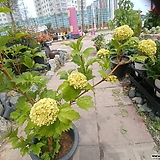 불도화 꽃 수국 노지월동 공기정화|Hydrangea macrophylla