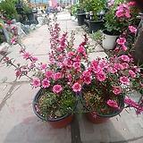 호주매화 꽃 공기정화|