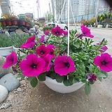 샤피니아 꽃 거리 공기정화|