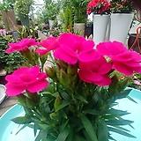 향 카네이션꽃 공기정화|