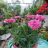 목마가렛 꽃|Echeveria halbingeri