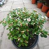 흰정화꽃 분제|